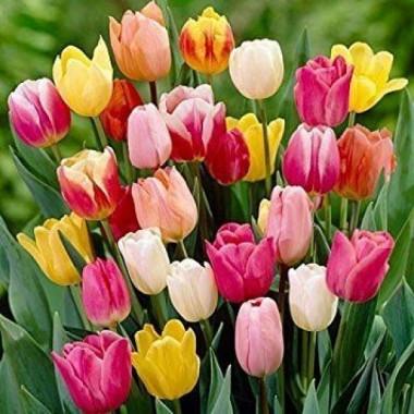 Тюльпан    садовий суміш (5 цибулин) опис, характеристики, відгуки