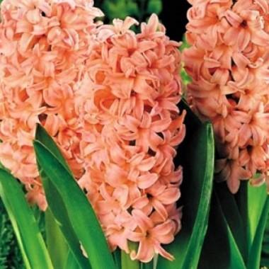 Гиацинт садовый Apricot Passion (1 луковица) описание, отзывы, характеристики
