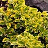 Бересклет Форчуна Емеральд Голд Euonymus fortunei Emerald Gold опис, характеристики, відгуки