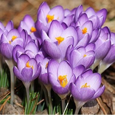 Крокус ранневесенний Barrs Purple (6 луковиц) описание, отзывы, характеристики