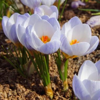 Крокус ранневесенний Blue Pearl (6 луковиц) описание, отзывы, характеристики