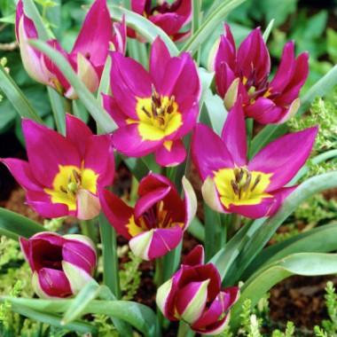 Тюльпан низкий ранний Pulchella Persian Pearl (4 луков.) описание, отзывы, характеристики