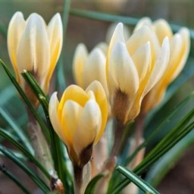 Крокус ранневесенний Romance (6 луковиц) описание, отзывы, характеристики