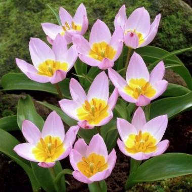 Тюльпан низкий ранний Lilac Wonder (4 луков.) описание, отзывы, характеристики