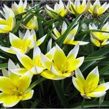 Тюльпан низький ранній Tarda (4 цибулини) опис, характеристики, відгуки