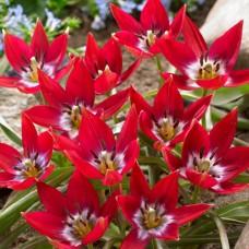 Тюльпан низький ранній Tiny Timo (15 цибулин)