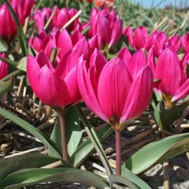 Тюльпан низкий ранний Violacea Black Base (4 луков.) описание, отзывы, характеристики
