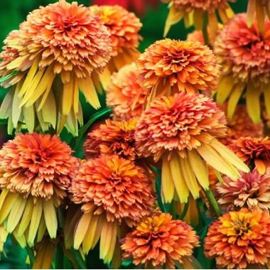 Эхинацея Мармелад (1 растение) описание, отзывы, характеристики