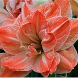 Гіпеаструм Amaryllis Exotic Nymph (Double) (1 цибулина 28\30) опис, характеристики, відгуки