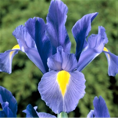 Ірис hollandica Blue (5 цибулин) опис, характеристики, відгуки