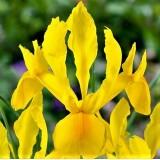 Ірис hollandica суміш (5 цибулин) опис, характеристики, відгуки