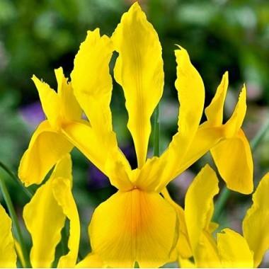 Ірис hollandica Yellow (5 цибулин) опис, характеристики, відгуки