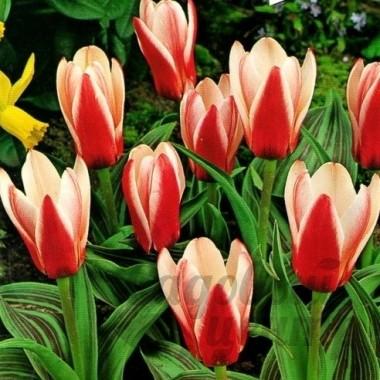 Тюльпан ранний Heart's Delight (3 луковицы) описание, отзывы, характеристики