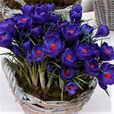 Крокус великоквітковий Flower Record (4 цибул.) опис, характеристики, відгуки