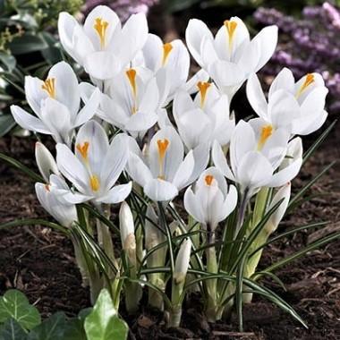 Крокус крупноцветковый Jeanne D'arc  (4 луков.) описание, отзывы, характеристики