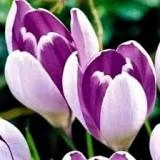 Крокус крупноцветковый смесь сортов (5 луков.) описание, отзывы, характеристики