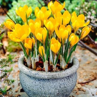 Крокус крупноцветковый Yellow Mammouth (4 луков.) описание, отзывы, характеристики