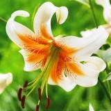 Лілія видова тюрбан Lady Alice (1 цибулина) опис, характеристики, відгуки