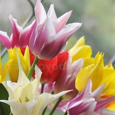 Тюльпан лилиецветный смесь (3 луковицы) описание, отзывы, характеристики
