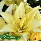 Лілія махрова Lotus Pure (1 цибул.) опис, характеристики, відгуки
