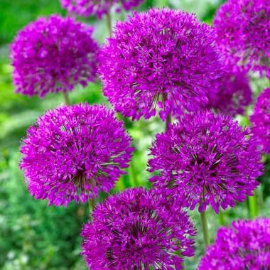 Цибуля декоративна Purple Sensation (1 цибулина) опис, характеристики, відгуки