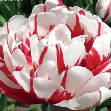 Тюльпан махровый Carnaval De Nice (3 луков.) описание, отзывы, характеристики