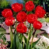 Тюльпан махровий Miranda (3 цибул.) опис, характеристики, відгуки