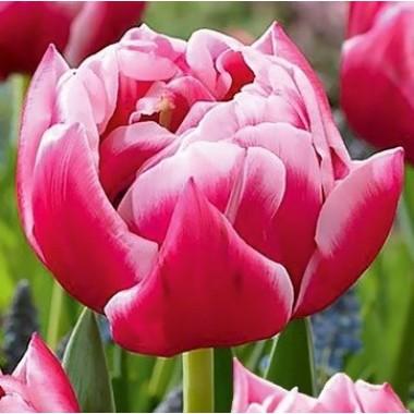 Тюльпан махровый Columbus (3 луков.) описание, отзывы, характеристики