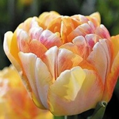 Тюльпан махровый Foxy Foxtrot (3 луков.) описание, отзывы, характеристики