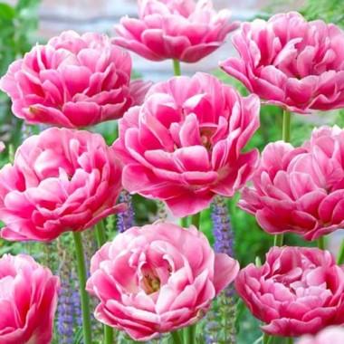 Тюльпан махровий Aveyron (3 цибул.) опис, характеристики, відгуки