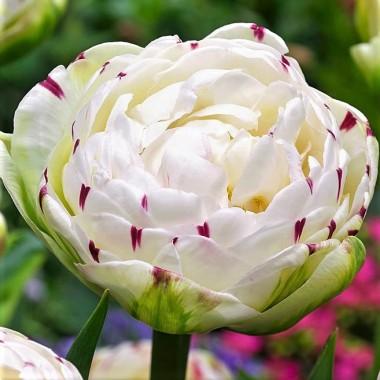 Тюльпан махровий Danceline (3 цибул.) опис, характеристики, відгуки