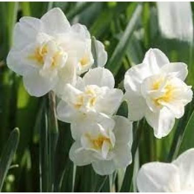 Нарцисс миниатюрный ранний Cherfulness (1 луков.) описание, отзывы, характеристики