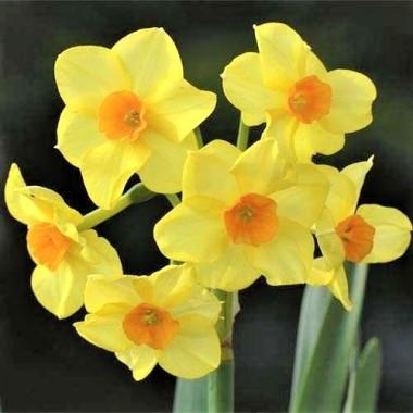 Нарцисс миниатюрный ранний Martinette (1 луков.) описание, отзывы, характеристики