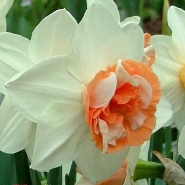 Нарцис великокорончатий Candy Princess (1 цибул.) опис, характеристики, відгуки