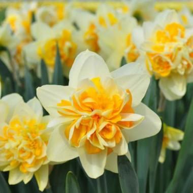 Нарцисс крупнокорончатый Peach Cobbler (1 луков.) описание, отзывы, характеристики