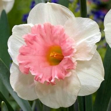 Нарцисс крупнокорончатый Rosy Sunrise (1 луковица) описание, отзывы, характеристики