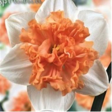 Нарцис  спліт-корона Hungarian Rhapsody (1 цибулина) опис, характеристики, відгуки