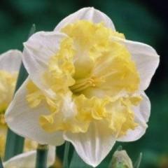 Нарцисс  сплит-корона Printal (1 луков.)