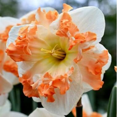 Нарцис  спліт-корона Sunny Girlfriend (1 цибулина) опис, характеристики, відгуки