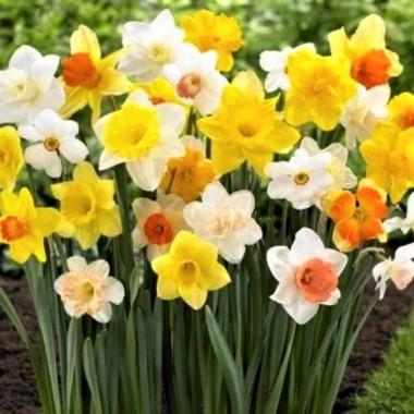 Нарцис садовий суміш сортів (5 цибул.) опис, характеристики, відгуки