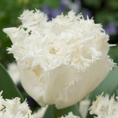 Тюльпан оторочений Estafette (3 цибул.) опис, характеристики, відгуки