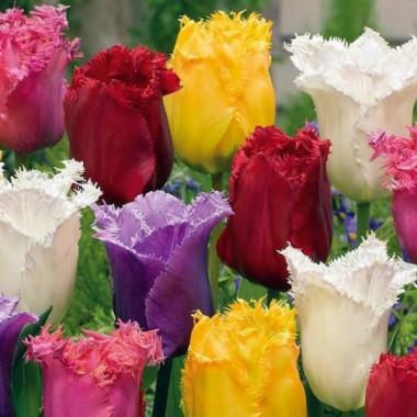 Тюльпан оторочений суміш (3 цибул.) опис, характеристики, відгуки