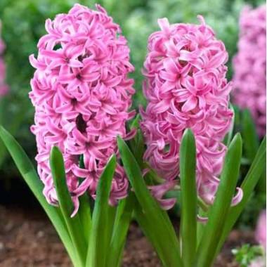 Гіацинт садовий Pink Pearl (1 цибулина) опис, характеристики, відгуки