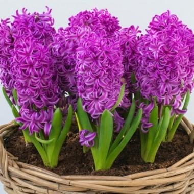 Гиацинт садовый Purple Sensation (1 луковица) описание, отзывы, характеристики