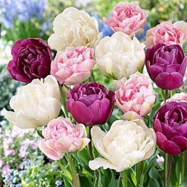 Тюльпан махровый смесь (5 луков.) описание, отзывы, характеристики
