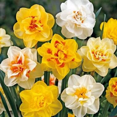 Нарцисс махровый смесь сортов (3 луков.) описание, отзывы, характеристики