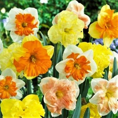 Нарцисс  сплит-корона смесь сортов (3 луков.) описание, отзывы, характеристики