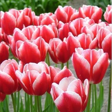 Тюльпан тріумф Leen Van Den Mark (3 цибулини) опис, характеристики, відгуки