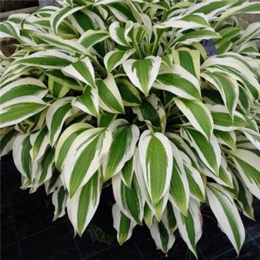Хоста White Dove (1 рослина) опис, характеристики, відгуки