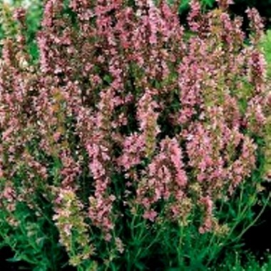 Гіссоп рожевоквітковий (1 саджанець) опис, характеристики, відгуки